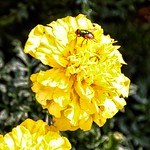 Lake Placid  New York - Yellow Peony with Fly - Sunlight thumbnail