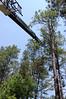 DSC_2308 (markpeterson1) Tags: jdtreepros redoak treeremoval