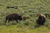 Yellowstone Life in Summer (Ken Krach Photography) Tags: bison yellowstonenationalpark