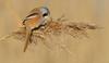 Bearded Tit  (Panurus biamicus). (Bob Eade) Tags: beardedtit beardedreedling dungeness birds nature wildlife winter reedbed nikon kent avian
