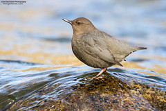 Ameriacn Dipper (www.lirongertsman.com) Tags: americandipper dipper dippers americandippers cinclusmexicanus aquatic aquaticsongbird pacificnorthwest vancouver metrovancouver lowermainland greatervancouver britishcolumbia canada bc bird birds birding birdphotography birdwatching nature naturephotography natural wildlife wild wildlifephotography animal animals canon canon7dmarkii canoneos7dmarkii 7dmarkii canonef100400mmf4556lisiiusm canon100400mm canon100400mmii river rivers stream streams water waters forest forests tree trees winter