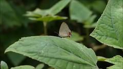 Calycopis cerata video (LPJC) Tags: quitacalzones manuroad manu 2016 peru lpjc butterfly calycopiscerata hairstreak