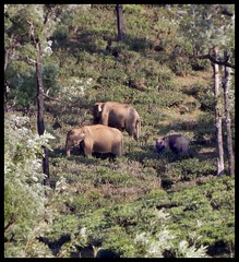 Wild Elephants enroute from Paralai to Pachamalai (Indianature st2i) Tags: wildelephantherd elephantsgoingfromparalaitopachamalai elephant wildelephantvalparai wildlife valparaiwildlife valparai anamalais anamallais anamalaitigerreserve westernghats tea shola rainforest nature indianature 2018 january february tamilnadu india life plantation forest people estate