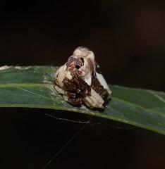 Mmm is it bird poo,are those eyes,and legs,it dos'nt smell mate? (ron_n_beths pics) Tags: westernaustralia perthbushlands araneidae arkys celaeniaexcavata