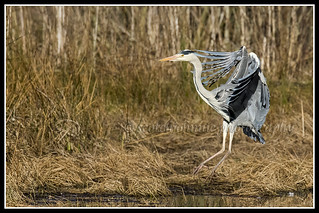 IMG_0157 Grey Heron