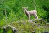 Bighorn Lamb near the Colorado River (donovancolegrove) Tags: lamb sheep kid clickheretoaddkeywords outdoor small bighorn goat tree river ears colorado young green distant nature cliff mountain 2x3