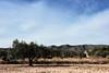 Rural (joseviparra) Tags: rural paisaje landscape campo cielo sky arbol tree olivo olive ermita hermitage montaña mountain