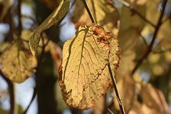 The passage of time by Nature - #3 Explore 16/1/2018 (MJ Harbey) Tags: tree leaves autumn autumnleaves nikon d3300 nikond3300 collegelake berksbucksoxonwildlifetrust thewildlifetrust tring