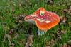 Amanita Muscari Mushroom (Vincent Ferguson) Tags: wild mushroom redcapped nature fungus botanical toadstoolbotanical outdoor poison amanitamuscari red