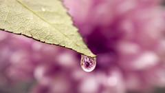 Purple drop (Riyazi) Tags: flora flower rain leaf blossom drop dew nature droplet water macrophotography color garden closeup plant beautiful petal bright noperson moisture spring summer dof light