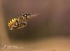 Bee wolf-10 (Neil Phillips) Tags: aculeata beewolf crabronidae europeanbeewolf hymenoptera insecta philanthustriangulum wasp arthropod arthropoda beeeatingphilanthus bug hexapod insect invertebrate