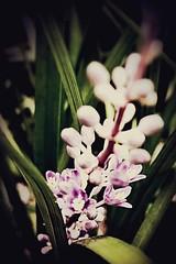 Natures beauty (kerriwest) Tags: purpleandgreen growing beautyofnature macro nature flower purple