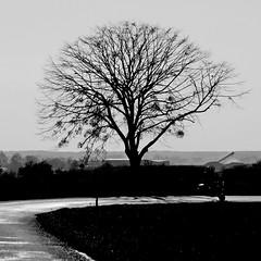 Passavant-sur-Layon - D 170 (pom.angers) Tags: panasonicdmctz101 february 2018 maineetloire paysdelaloire france europeanunion passavantsurlayon cholet choletais mauges vihiersois 49 tree 200 100 300