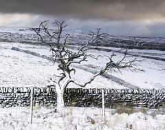 Tree (l4ts) Tags: landscape derbyshire peakdistrict darkpeak tree curbaredge whiteedge drystonewall snow winter moorland