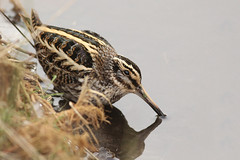 Bokje - Lymnocryptes minimus - Jack Snipe (merijnloeve) Tags: bokje lymnocryptes minimus jack snipe bok snip katwijk de mient kooltuin zh gemeente zuidholland vogel vogels bird waterbird steltloper