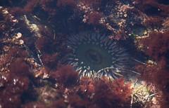 Anemone (Caryn Sandoval) Tags: california tidepools tidepool nature ocean sea sealife sunset