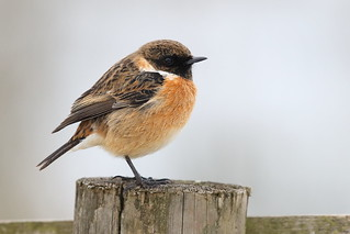 Mr Stonechat on a Post
