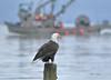 _K8A8962  1550 (pete#1) Tags: rest shady beach qualicum eagle