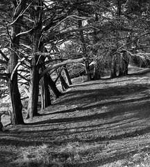 Tree Group _ bw (Joe Josephs: 3,166,284 views - thank you) Tags: bigsur california californiacoast californialandscape pacificcoasthighway pacificocean travel travelphotography westcoast scenic trees bw monochrome blackandwhite blackandwhitephotography