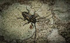 Ancita crocogaster (dustaway) Tags: clagiraba coomeravalley sequeensland queensland australia australianwildlife arthropoda insecta coleoptera cerambycidae lamiinae ancita longicornbeetle australianbeetles australianinsects