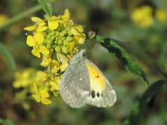 Dainty sulphur (Bryan - oz4caster) Tags: annualbastardcabbage butterfly daintysulphur