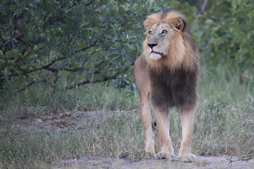 LionMale_0049_18-01-24