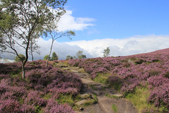 Walking through the heather (jpotto) Tags: uk derbyshire hathersage surpriseview heather moorland trees purple peakdistrict eastmidlands