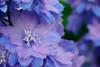 Delphinium (~gio~) Tags: maine acadia national park acadianationalpark landscape foliage summer flower flora lush delphinium