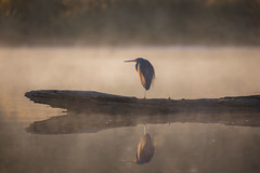 Foglight (gseloff) Tags: tricoloredheron bird animal wildlife water reflection morning fog bayou horsepenbayou pasadena texas kayak gseloff