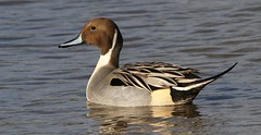 Pintail 010218 (4) (Richard Collier - Wildlife and Travel Photography) Tags: wildlife naturalhistory british britishbirds birds wwtslimbridge pintail ngc npc
