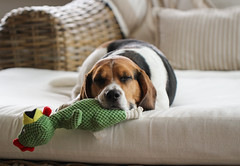 Lucky (LuckyMeyer) Tags: beagle jagdhund black brown white friend haustier dog hund