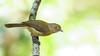 Hylophilus thoracicus (Aisse Gaertner) Tags: hylophilusthoracicus birdwatching bird brazil birdwatcher blinkagain birds brasil brazilian p900 nikon ngc coolpix