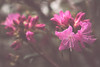A little light... (Aby Images (M.)) Tags: canon eos bretagne brittany finistère flowers 100d 50mm pink
