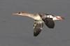 Red-breasted Merganser (Wayne A J.) Tags: redbreasted merganser in flight kidwelly flying