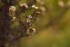 Withered Groundsel (pstenzel71) Tags: blumen lens natur pflanzen samyang135mm20 darktable bokeh winter groundsel kreuzkraut senecio withered verblüht samsungnx