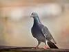 Pigeon (Zara Calista) Tags: pigeon california san diego texture nikon nikkor pier pacific d750 sandiego