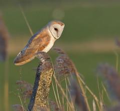 Barn Owl (KHR Images) Tags: barnowl barn owl tytoalba wild bird birdofprey perched nenewashes cambridgeshire eastanglia wildlife nature nikon d500 kevinrobson khrimages