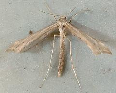 Platyptilia williamsii 6112 (willapalens) Tags: platyptilia williamsii pacific county washington moth willapa bold dna