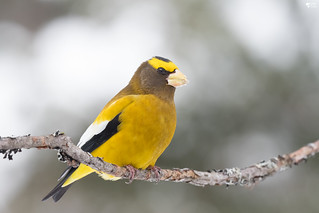 ''Touche de soleil!'' Gros bec errant-Evening grosbeak