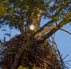 Nesting Side By Side (John Kocijanski) Tags: eagles baldeagle nest tree birds birdofprey wildlife nature canon70300mmllens canon7d sullivancounty animals