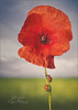 The Last Poppy (Red Gecko Photography) Tags: poppy field ladybugs lonely solitary red flower back ground macrocreams