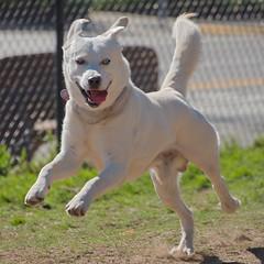 Happy Dog Running - Nikon D750 - AFS Nikkor 28-300mm 1:3.5-5.6G VR (divewizard) Tags: nikond750 nikon d750 dslr fx afsnikkor28300mm13556g afs nikkor 28300mm 13556g vr f3556 zoomlens zoom lens 28300mmf3556gvr chrisgrossman elsegundodogpark elsegundo losanglescounty california handsomedog happydog bigdog blue goberian goldenhusky goldsky whitedog dog whitegoberian runningdog dogrunning dogpark smilingdog dogsmiling perro cão chien hund 犬 собака 狗 hond כלב الكلب σκύλοσ heterochromia heterochromiairidis heterochromiairidum sectoralheterochromia