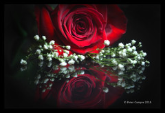 Afterglow (Peter Camyre) Tags: rose roses reflection afterglow peter camyre photography light shadow dark lights flower picture pretty color colors colorful canon 5d mkiii