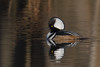 Solitude (rob.wallace) Tags: winter 2018 waterfowl hooded merganser drake huntley meadows park alexandria va