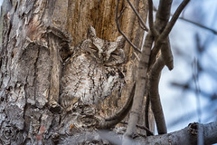 Keeping One Eye Open (hey its k) Tags: birds nature owl screechowl wildlife woodlandcemetery burlington ontario canada ca img7037 tamron 150600mm canon6d