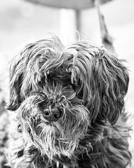 shAggy.jpg (christophersears94) Tags: toronto urban roncesvalles street dog ontario canada olympusem12 ronnyvillage olympus40150f28pro ronceydog