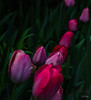 Flowers-Tulips-50.jpg (Chris Finch Photography) Tags: tulipasaxatilis spring tulip pinktulip flower tepals tulipalinifolia springblooming chrisfinchphotography perennial redtulip petal herbaceousbulbiferous petals tulipa pinktulips flowers tulipaturkestanica perennials herbaceous bloom bulb tulipagesneriana bulbs tulipaarmena lilioideae chrisfinch herbaceousbulbiferousgeophytes macrophotography tulipaclusiana blooming tulipahumilis redtulips wwwchrisfinchphotographycom tulips