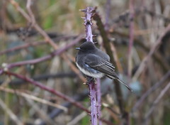 Black Phoebe (Christopher Lindsey) Tags: skagitcounty skagit blackphoebe wileyslough birds winter birding