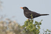 Common Blackbird (steve happ) Tags: azemmour commonblackbird morocco turdusmerula