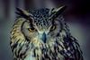 Owl (sam.villaver) Tags: animales ave buho nikon d3100 nature wild animal zoom zoomlens wildlife bird naturaleza mirada ojo salvaje teleobjetivo pájaro owl